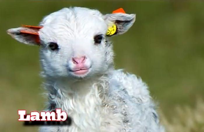 SabrinaZolkifi_feb2014_lamb