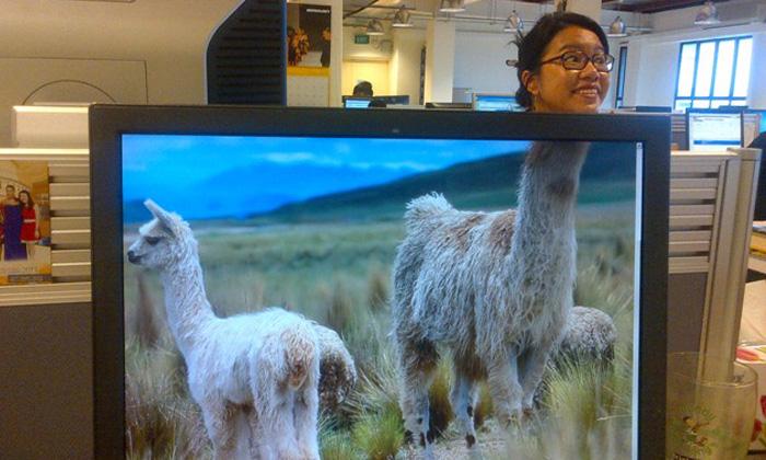 RebeccaLewis_July2013_sabrina-llama-desk-safari